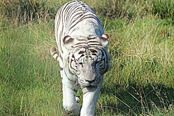 Tiger,Tiger Burning Bright by crissyb