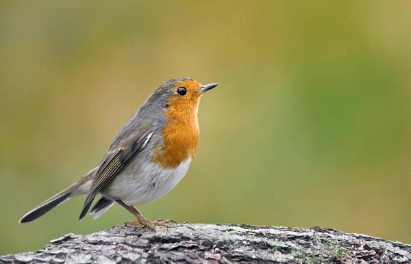 Robin by geoffrey baker