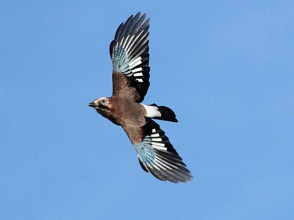 Jay in flight by Adamzy