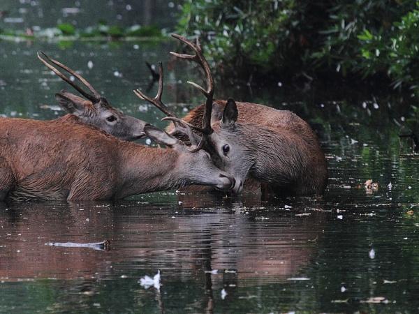 Red deer by Adamzy