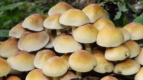 Death Cap fungi by ZoeKemp