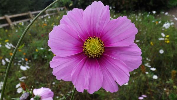 wild flower by ZoeKemp