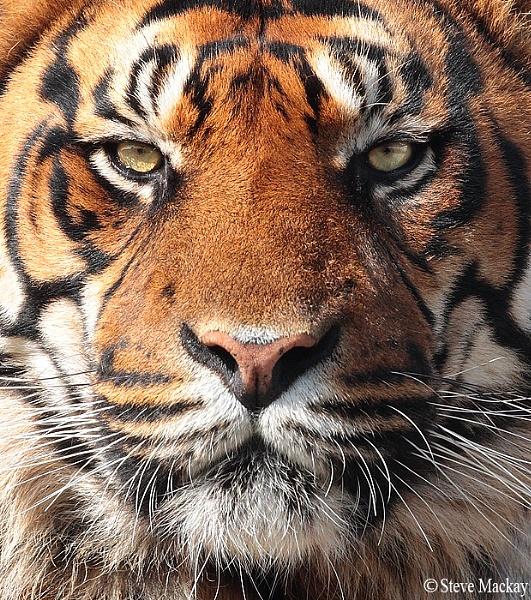 Tiger by SteveMackay