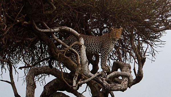 Majestic Leopard in the Masai Mara! by ashifmadha
