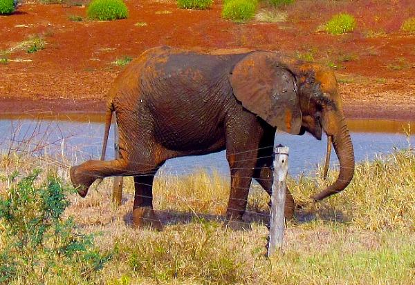 Laughing Young Elephant in Tsavo, Kenya! by ashifmadha