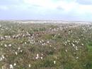 Summer snow (cotton grass) Marsden Moor .