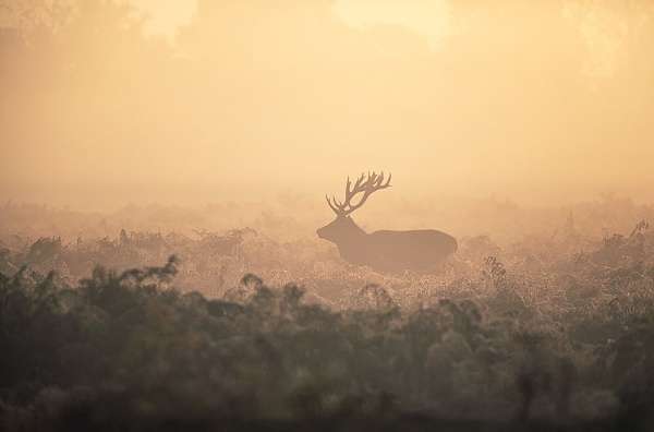 Stag in the Mist by Coleslaw