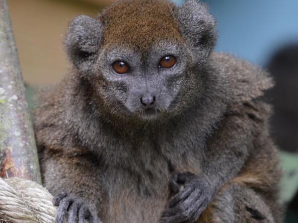 Lemur by Barleybank