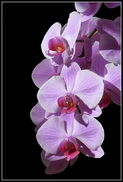 Sunlit Orchid