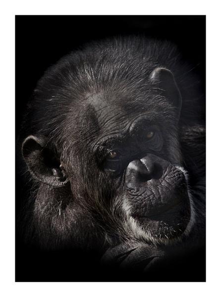 Chimp Portrait by fatmod