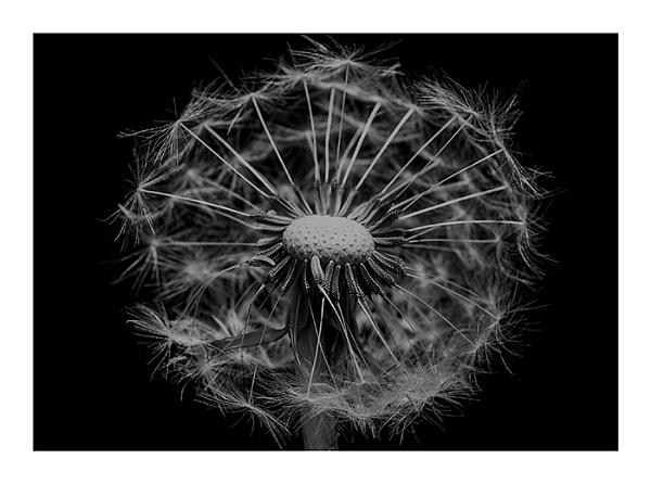 Macro Dandelion by fatmod