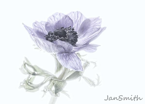 Anemone by janty66