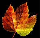 Autumn Leaf by Tonksfest