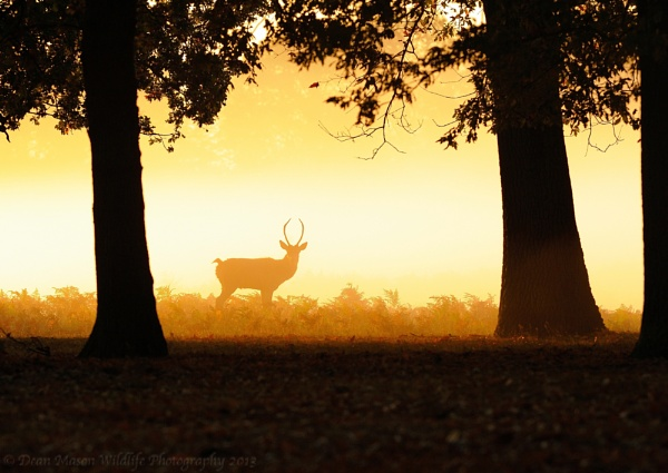 Sunrise Stag by WindowonWildlife