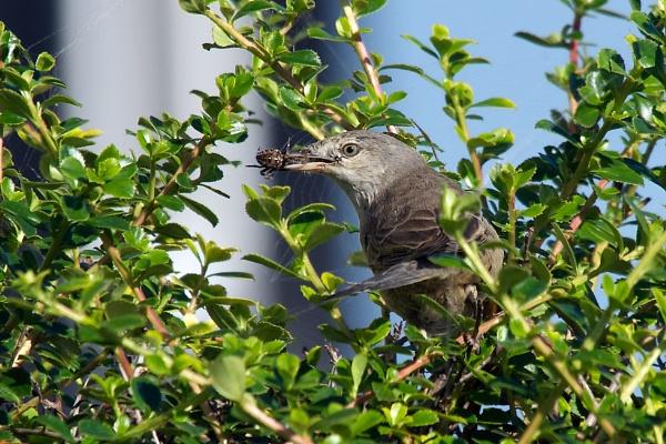 Barred warbler by saltholme