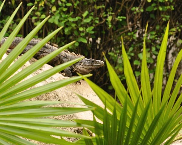 Mexican Iguana by Rapido57