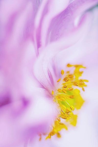 Anemone Japonica by jackyp