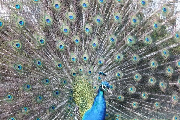Mr Peacock by KIWIGIRL78