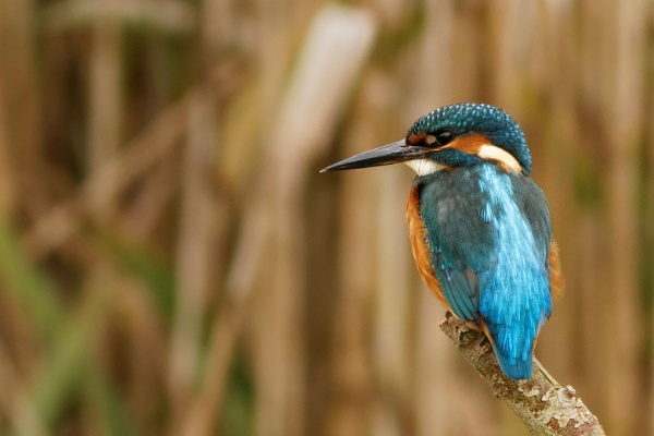 Kingfisher by dave1967