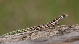 Tyrrhenian wall lizard
