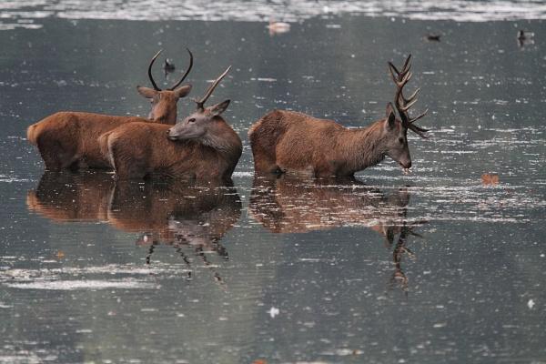 Red deer in lake by Adamzy