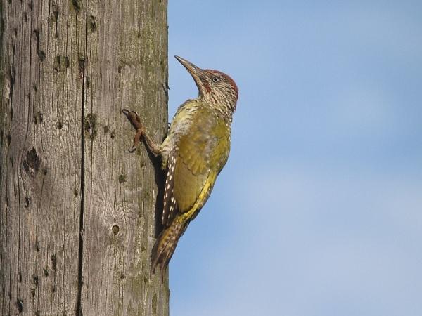 Green woodpecker by Adamzy