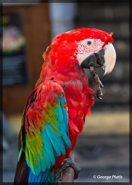 Parrot by GeorgePlatis