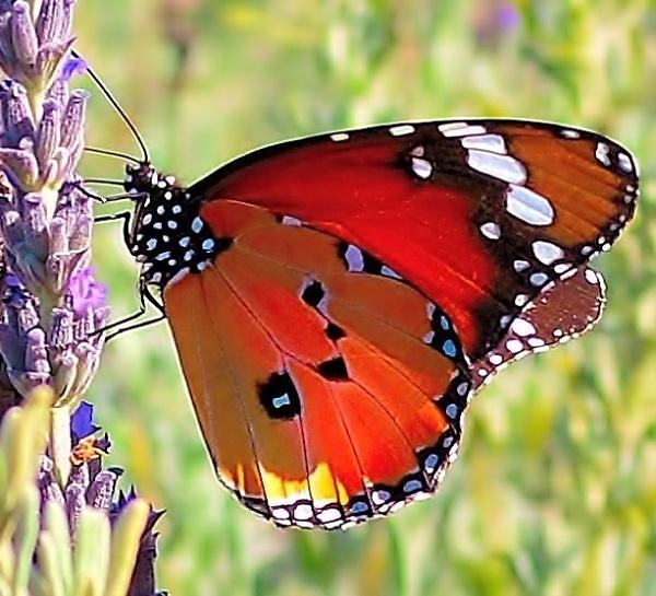 Monarch butterfly by fotobee