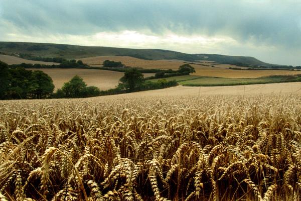 Corn Field by RobJam