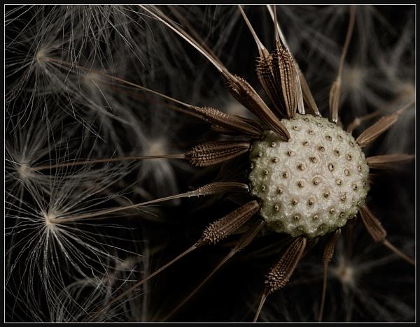 Dandelion Closeup by Morpyre