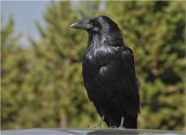 Raven by dven