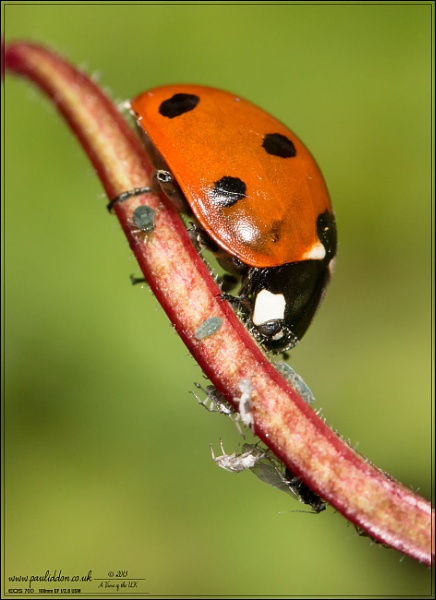 Ladybird Hunting by Paul_Iddon