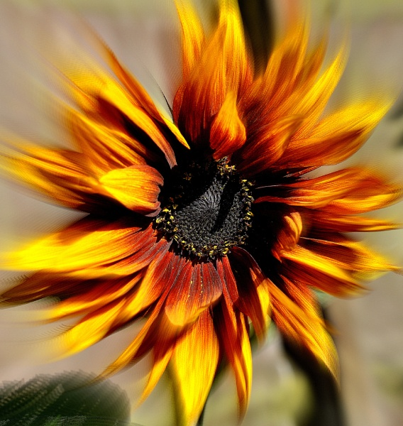 Gale blown Sunflower by nickyv32