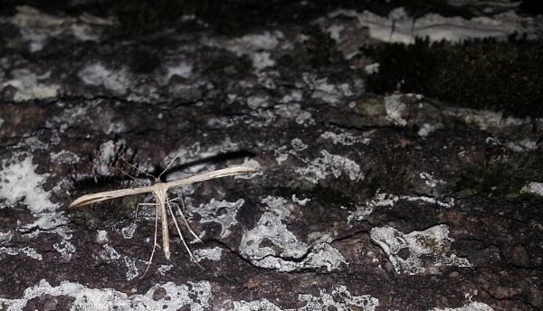 Plume Moth by SHADY65