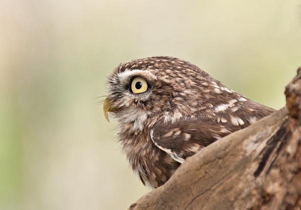 Little Owl by FeatherFriend