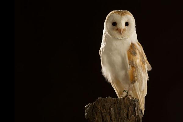 Barn owl by Geofferz