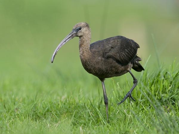 Gossy ibis by ajdh