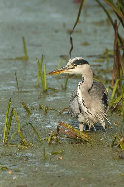 Grey Heron by paddyman