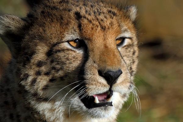 Cheetah Portrait by mdoubleya