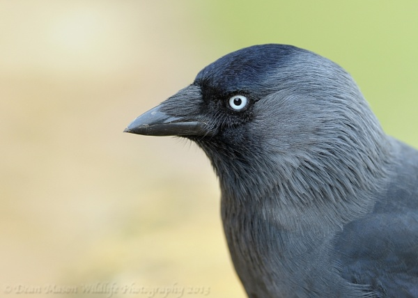 Jack Daw a Portrait by WindowonWildlife