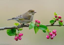 Bloomin Greenfinch