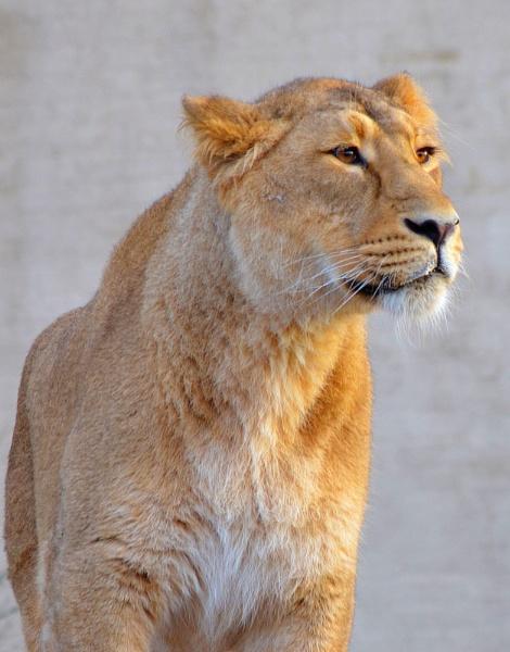 London Zoo Lioness. by jambutty53