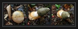 Fungi, Funguy.