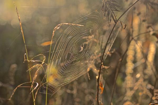 morning spider by robberridge