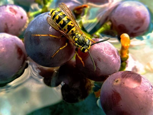 bee on grape by binder1