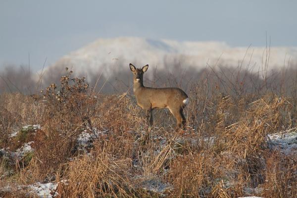 Roe deer by Adamzy