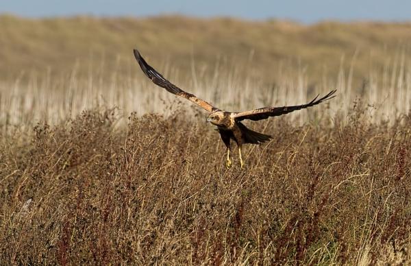 Marsh Harrier by trevrob