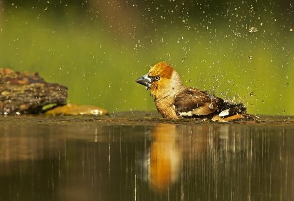 Hawfinch bathtime by katholdbird