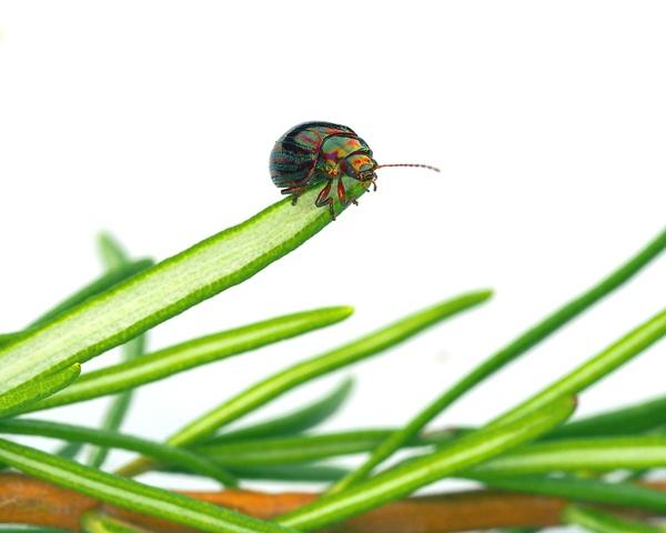 Rosemary Beetle by victorburnside
