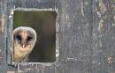 Barn Owl by VinceJones